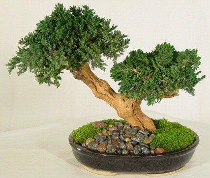 Bonsai (immagine tratta da: http://tempolibero.pourfemme.it/articolo/come-si-curano-i-bonsai/8083/)