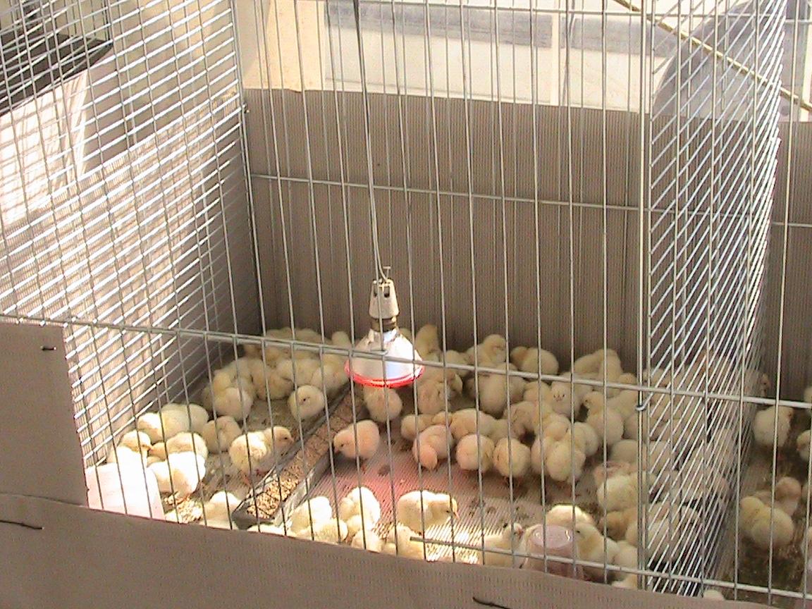 schiusa uova di gallina