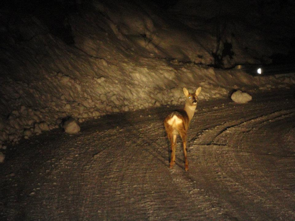 Daino smarrito tra Balzo di Montegallo e Uscerno il 9 febbraio, circa l'1 del mattino (foto Mario Cecchini)
