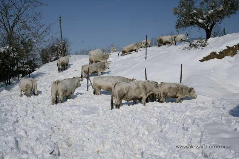 Neve, Monsampolo, 12 febbraio 2012 foto Alessandro Cocconi 2