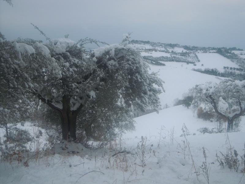 Neve a Monsampolo, ulivo,10 febbraio 2012, Paola Panarese