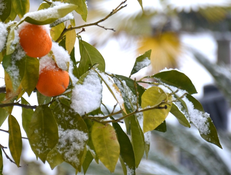 Albero di arance innevato ad Offida, 10 febbraio 2012, Martina Butteri