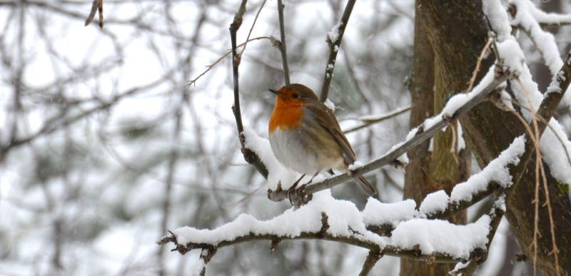 Foto di Archivio Neve ad Offida, uccellino infreddolito (2), 10 febbraio 2012, foto di Martina Butteri