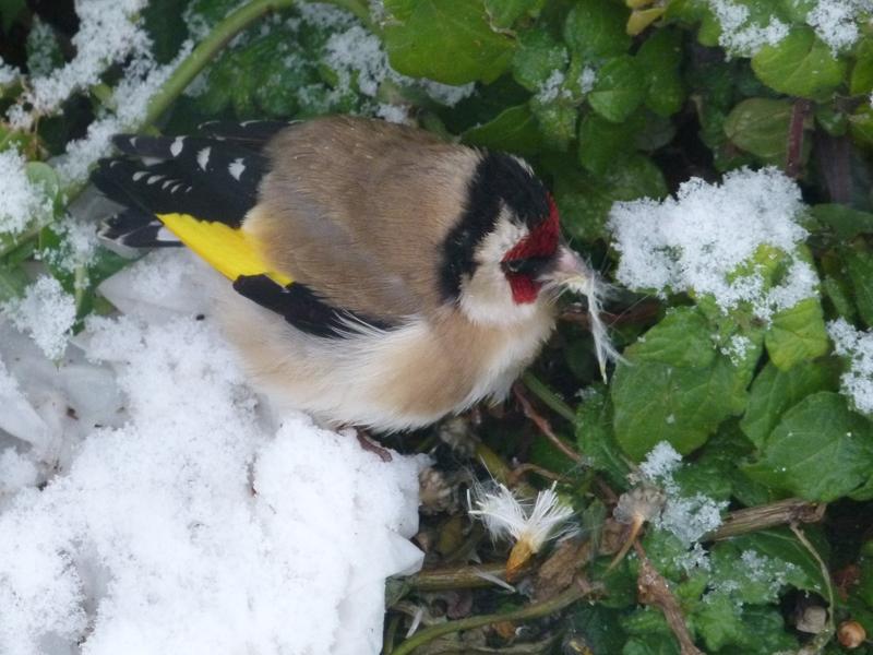 Uccellino nella neve, 10 febbraio 2012