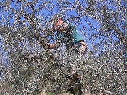 La potatura dell'olivo