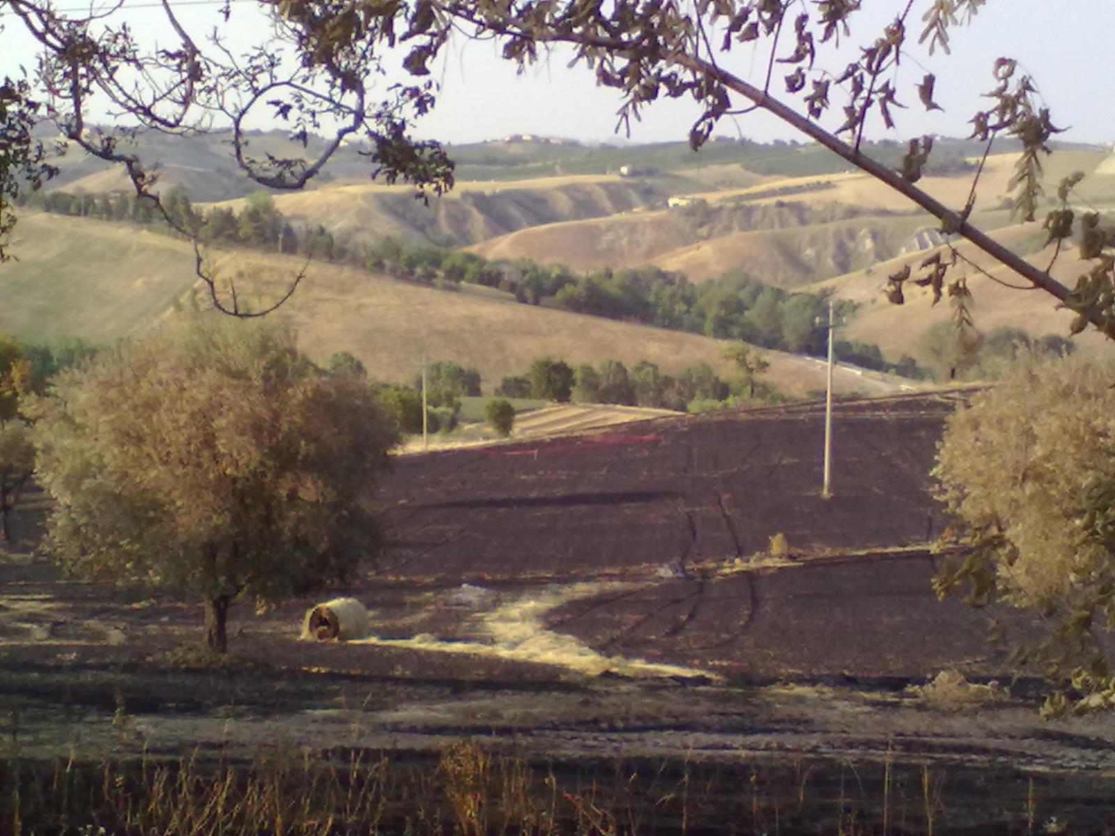 Campo di grano in contrada Tose