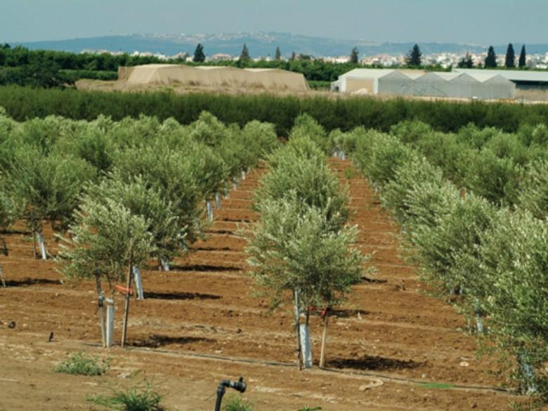 L olivo e l olio di oliva made by italians